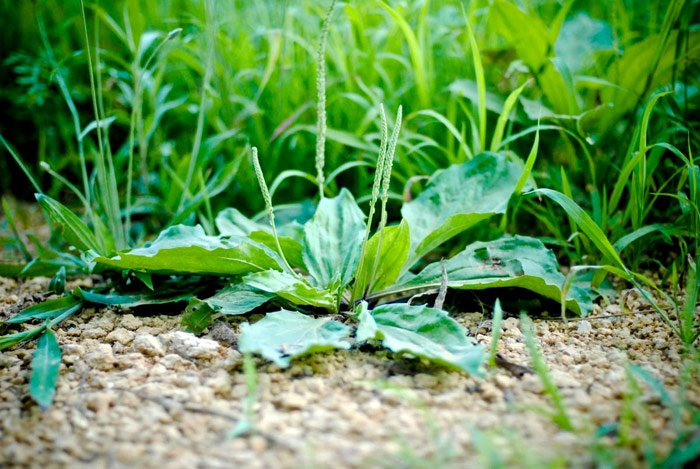 home remedies for peptic ulcer Sage And Plantain