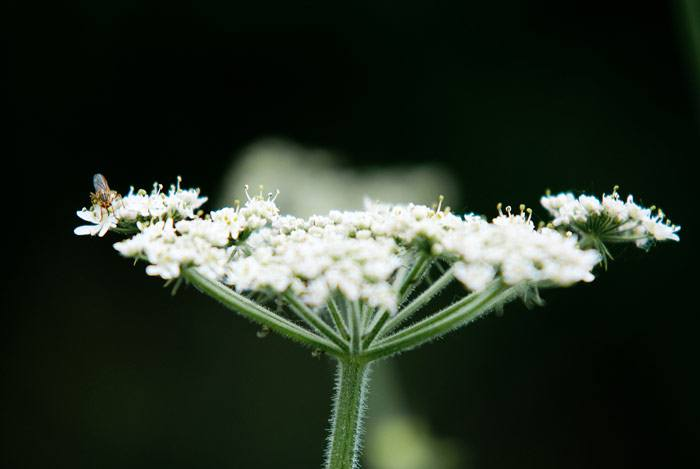 home remedies for peptic ulcer yarrow
