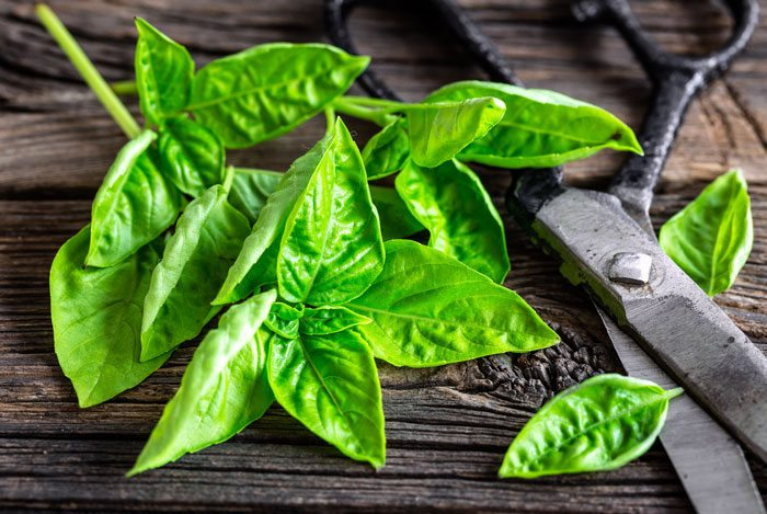 home remedies for pimples Basil Leaves