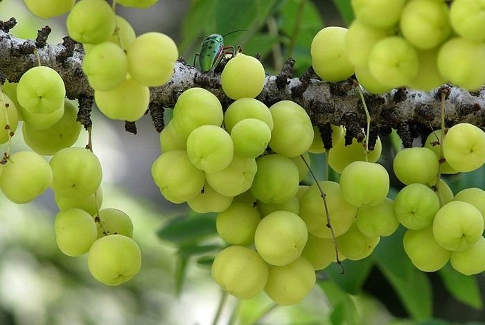 home remedies for uti Indian Gooseberry