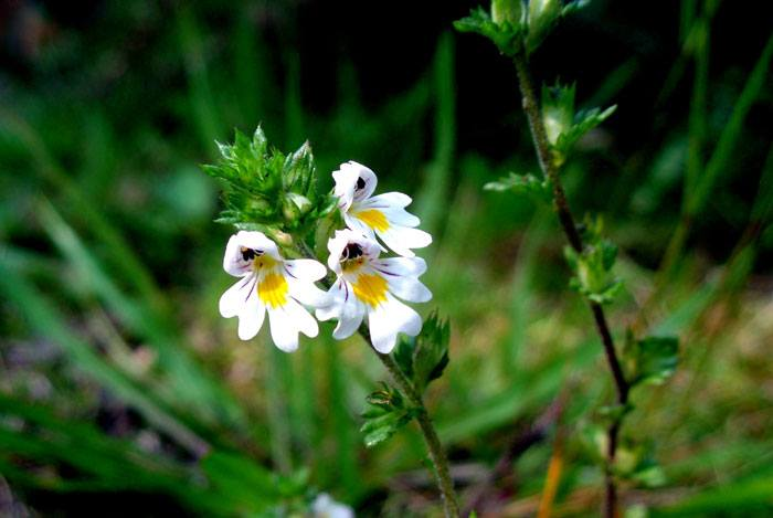 home remedies for pink eye eyebright